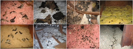 Rodent Damage Solutions In Bay Area San Francisco San